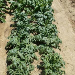 週末農業(令和元年5月⑤、大根、カブ、ジャガイモの雑草抜き、九条ネギの手入れ、トマト・ししとう・ピーマンの確認、オクラとショウガの植え付け、)