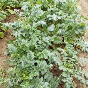 週末農業(令和元年6月③、大根、カブの収穫、成長過程のご報告)