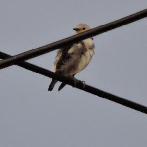 野鳥撮影日記(令和元年7月➁)
