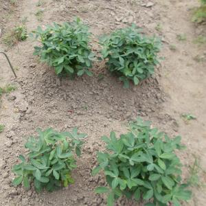 週末農業(令和元年8月➁、落花生の土寄せ、万能ネギとゴボウの土寄せ及び追肥、人参の間引き、成長過程のご報告)