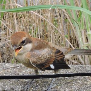 野鳥撮影日記(令和元年8月①)