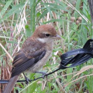 野鳥撮影日記(令和元年8月➁)
