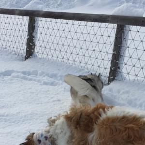 深雪でラッセルな栗山ドッグラン