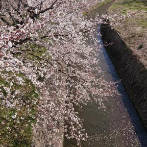 山形桜田坂巻川のさくら