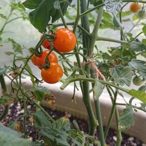 #ミニトマトも強い雨で風徐室に避難