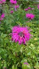 ☆ピンクのたいまつ花