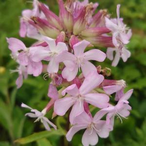 ☆ソープワープの花