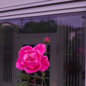 ☆雨上がりのバラ
