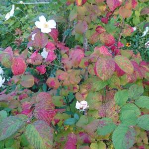 ☆オオデマリの紅葉