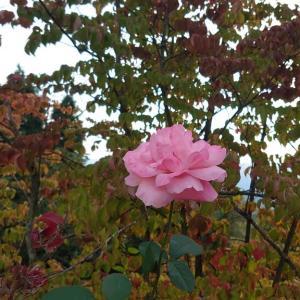 ☆ヤマボウシの紅葉とバラ