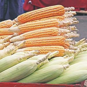 【現地報道に見るバングラデシュ市場の状況】外国企業が20億タカ(約26億円)のトウモロコシ種子市場を席捲:2019年10月20日付けDaily Star紙