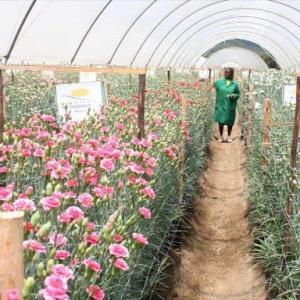 【現地報道に見るケニア市場の状況】花卉農家に70億シリング(約70億円)の税金還付:2020年8月6日付けStar紙