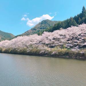 夫と桜を見に行きました