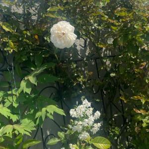 つるバラ 品種紹介