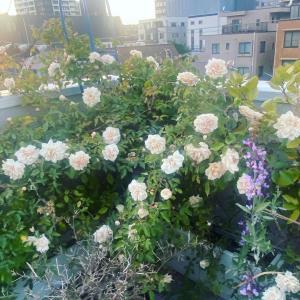 つるバラ祭り1