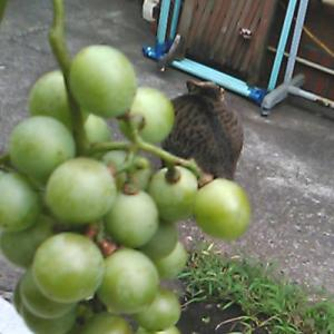 放ったらかしの葡萄