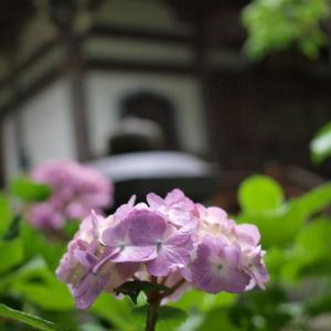雨のあじさい寺1