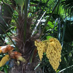 【棕櫚の花】のことなど