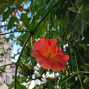 凌霄花が咲いている