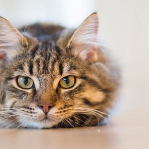 猫のライオンカットにはこんな効果があった!メリットとカット方法の説明