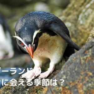 ニュージーランドのペンギンに会える季節は?