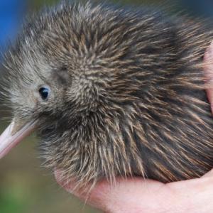 ニュージーランドのキウイとは?