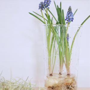 ムスカリ球根の水耕栽培