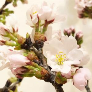 ホルムガード フローラベース別注パープルに桜を飾る