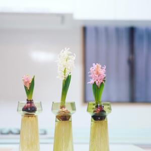 ヒヤシンスの開花と、今日の捨て
