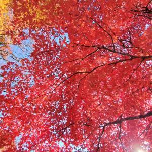 小諸城址・懐古園の紅葉。木のしたから見上げる紅葉の美しいこと!