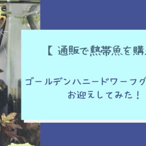 【通販で熱帯魚を購入】ゴールデンハニードワーフグラミーをお迎え【レポ】
