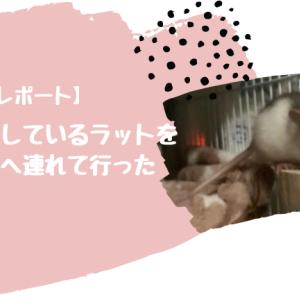 【レポート】くしゃみをしているラットを動物病院へ連れて行った【ペットを動物病院へ連れて行くときのポイント】
