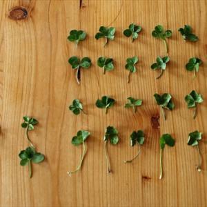 4歳児と自宅周辺で四つ葉のクローバー探しをしたら、思った以上に色々見つけてしまった話