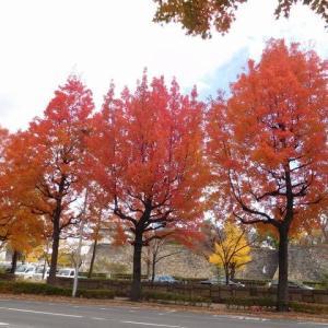 フウの木(街路樹)の伐採