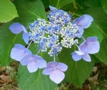 アジサイ花の百花繚乱