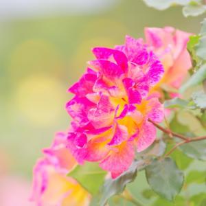 青和ばら公園のバラは見頃でした2019