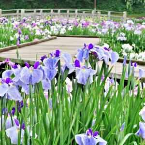 四季の里公園では花菖蒲が見頃でした2019