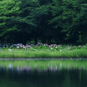 柏の葉公園の紫陽花2019
