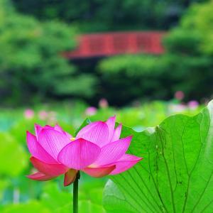 八坂公園の蓮は見頃でした2019