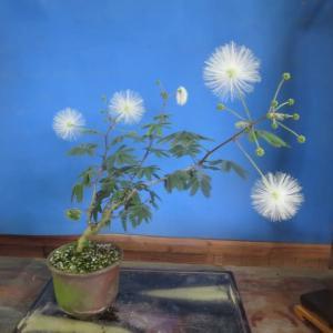 山野草、盆栽 展示会、情報。 白花合歓の木の花。  他