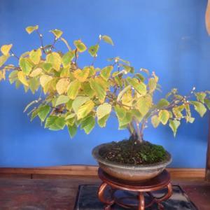 日向水木の黄葉