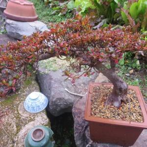 ミヤマ霧島の紅葉、丸葉の木の紅葉