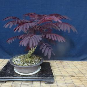 赤葉ねむの木の植え替え