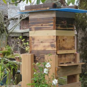 日本ミツバチの分蜂、 ダイアモンドリリ-の発芽の様子 他