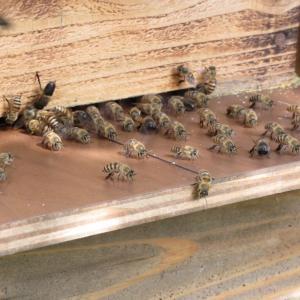 赤花野ばら、  ミツバチの動きも活発です。