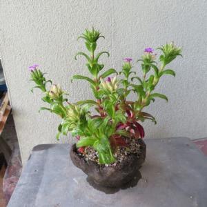 屋久島斑入り浜ナデシコの花、斑入りウツギ三光斑 紅色の覆輪が奇麗です。
