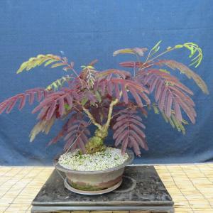 赤葉合歓の木のその後、昨日の多茎花のギボウシ 鉢に植え替えました。  他