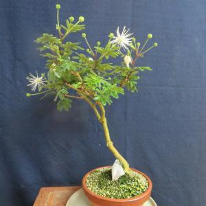 白花合歓の木 再度開花、  他