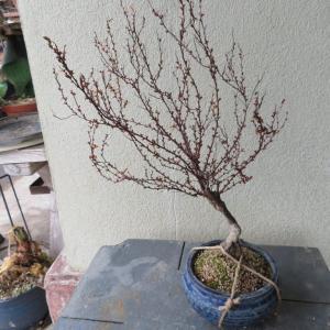 雪柳の植え替え、 スナゴケの平鉢植え