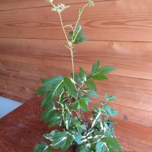 シモツケソウの花、桔梗の初花